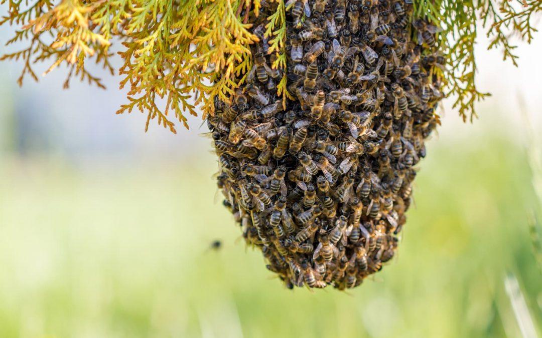 Récupérer des essaims sauvages d'abeilles, pour mieux protéger l'espèce ?